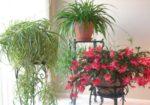 Вьющиеся или ампельные комнатные растения