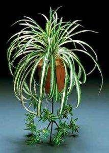 Хлорофитум уход и выращивание в домашних условиях
