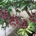 Хойя — восковой плющ уход и выращивание