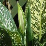 Диффенбахия уход и выращивание в домашних условиях