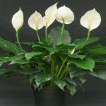 Спатифиллум — цветок «Женское счастье»