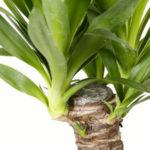Юкка комнатное растение