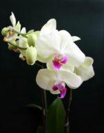 Фаленопсис — уход и выращивание в домашних условиях